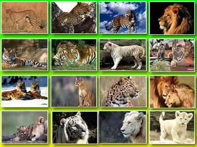 Обои гепардов и пантера